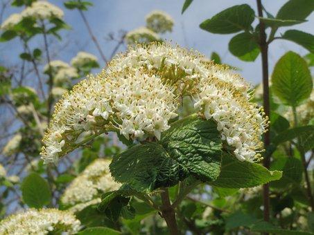 Viburnum Lantana, Wayfarer, Wayfaring Tree, Shrub, Tree