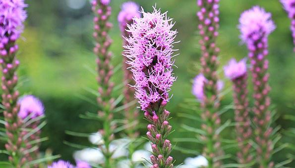 Splendor Notch, Liatris Spicata, Flower, Bloom, Plant
