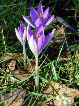 Crocus, Purple, Violet, Flower, Blossom, Bloom, Spring