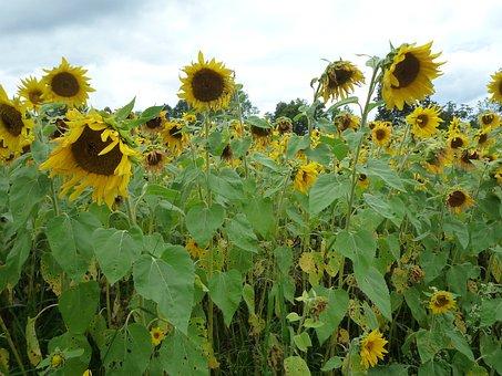 Sunflower, Tall, Yellow, Field, Oil, Seed, Sunny