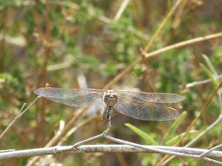 Dragonfly, Sympetrum Striolatum, Front View