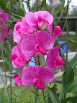 Vetch, Perennial Sweet Pea, Climber Plant, Pink