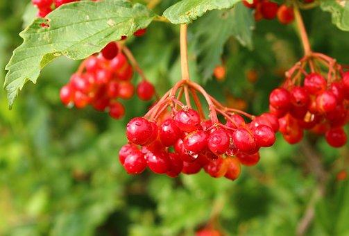 Viburnum, Berry, Fruit, Bush, A Bunch Of, Therapeutic