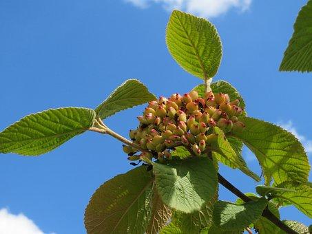 Viburnum Lantana, Wayfarer, Wayfaring Tree, Fruit, Tree