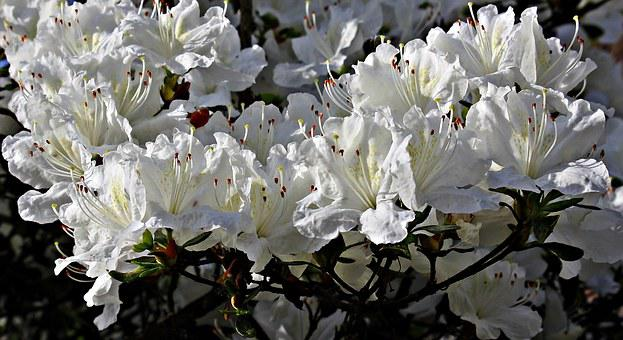 Rhododendron, Flowers, White, White Blossom, Spring
