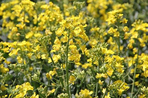 Field Of Rapeseeds, In Bloom, Yellow, Spring, Bright