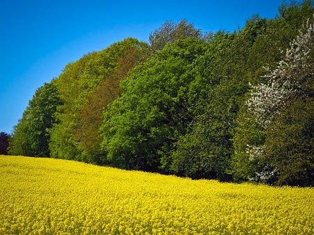 Field Of Rapeseeds, Oilseed Rape, Yellow, Plant