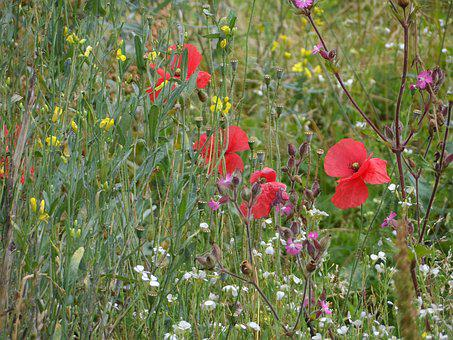 Meadow, Summer Meadow, Flowers, Red, Yellow, White