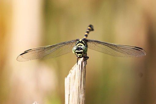 Tiger Dragonfly, Dragonfly, Kinjeng
