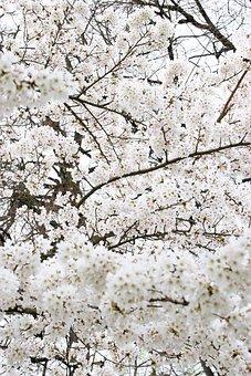 Apple Japan, Tree, White, Asia