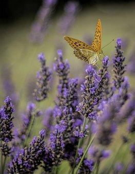 Butterfly, Levandula, Flower, Purple, Orange
