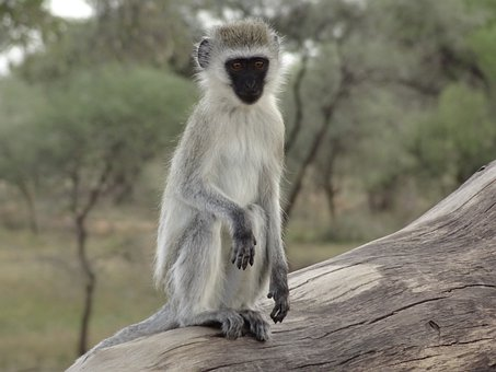 Monkey, Portrait, Human