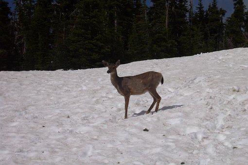 Deer, Snow, Animal, Wildlife, Wild, Zoology, Mammal