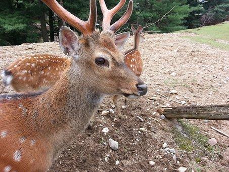Deer, Animal, Wildlife, Wild, Zoology, Mammal, Species