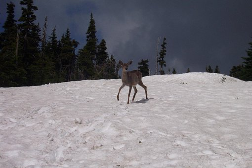 Deer, Snow, Animals, Wildlife, Wild, Zoology, Mammal