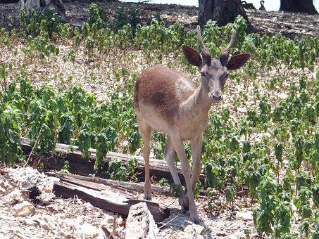 Deer, Small, Outdoor, Animal, Wildlife, Wild, Mammal