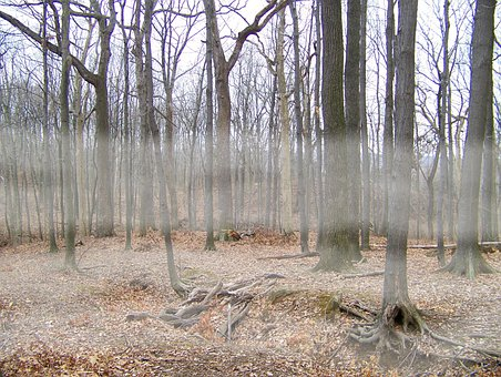 Fog, Trees, Woods, Forest, Winter, Dead, Leaves, Tree