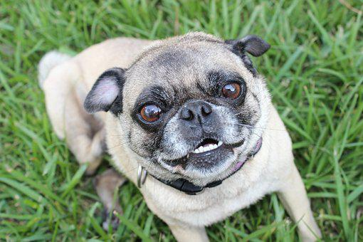 Pug, Puppy, Animal, Dog, Pet, Cute, Funny, Purebred