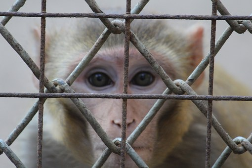 Monkey, Staring, Face, Fence, Cage, Ape, India, Primate