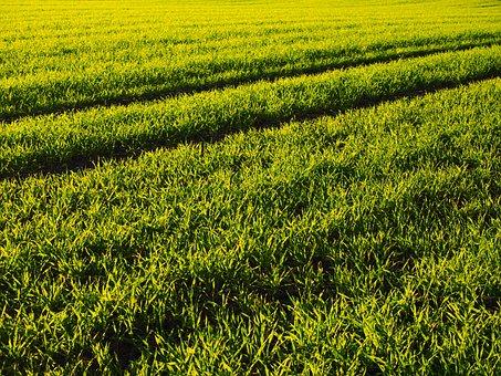 Winter Wheat, Seed, Field, Arable, Grass, Green