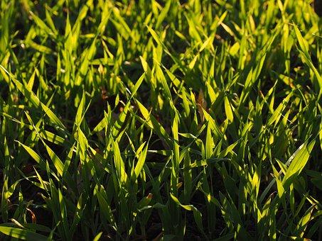 Winter Wheat, Ssaat, Field, Arable, Grass, Green