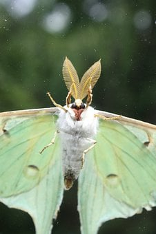 Luna Moth, Insect, Bugs, Flying, Green, Wings, Moth