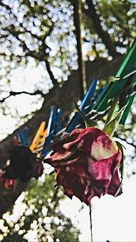 Dried, Roses, Herbarium, Prischebki, Tree, Rope