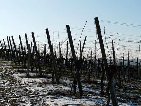 Vineyard, Winter, Vine, Winegrowing, Post, Vines, Snow