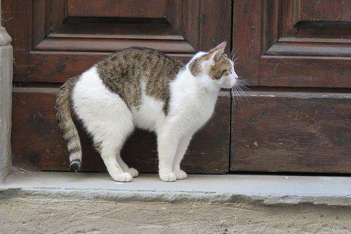 Cat, Door, Out, Pet, Italy, Florence