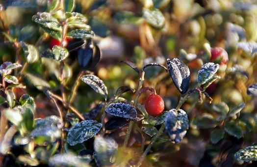 Cowberry, Winter, Winter Landscape, Rime, Frost, Nature