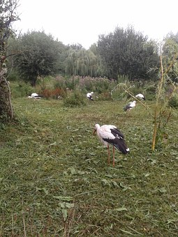 Stork, Birds, Group, Nature