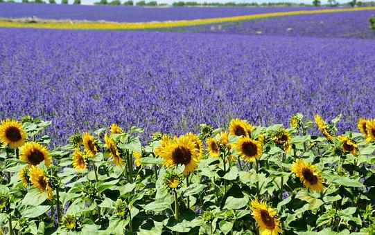 Lavender Field, Sunflower, Valensole, Provence, Summer