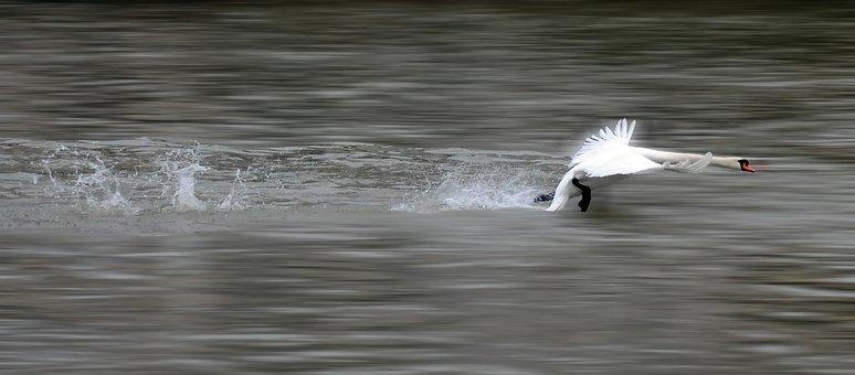 Swan, Take-off, Bird, Flight, Nature, Animal