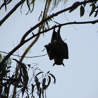 Dharwad, India, Bat, Fly, Wings, Wildlife, Wild