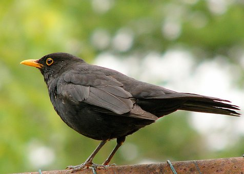 Blackbird, Black, Wild Life, Bird, Fly, Wings, Feather
