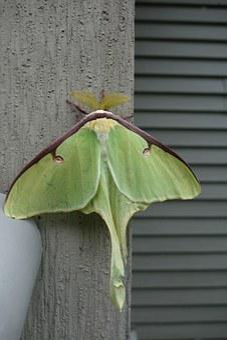 Luna Moth, Actias Luna, Antenna