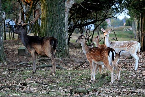 Fallow Deer, Deer, Hirsch, Forest, Nature, Roe Deer