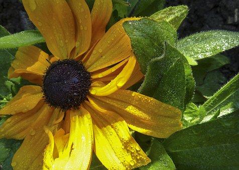 Ordinary Sunhat, Flower, Yellow, Nature, Garden, Flora