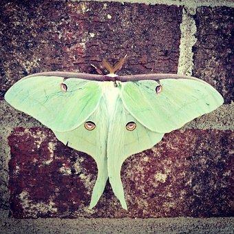 Luna, Moth, Luna Moth, Green, Eyes