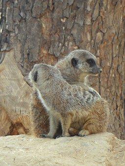 Meerkat, Pair, Two, Zoo, Together, Friendship