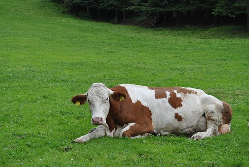 Cow, Animal, Pasture, Grass, Colors, Sunny