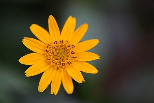Flower, Chrysanthemum, Yellow, Spring, Plant, Nature