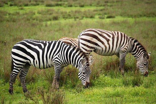 Zebra, Group, Animals, Mammals, Togetherness, Grazing