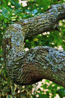 Tree, Tipuana, Branch, Thick, Strong, Bark, Rough