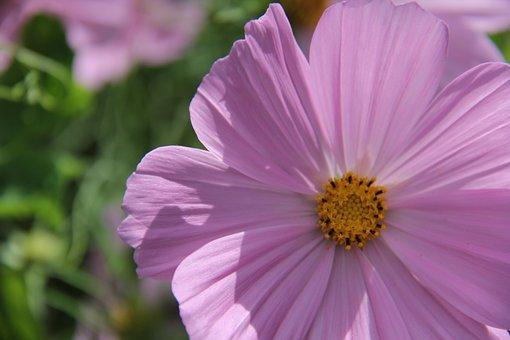Cosmea, Pink, Sunny, Flower, Yellow, Green