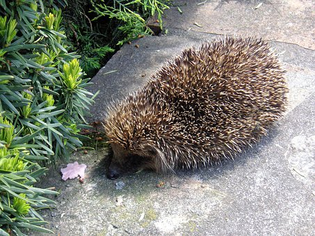 Hedgehog, Animals, Prickly, Spiny, Mammal, Animal