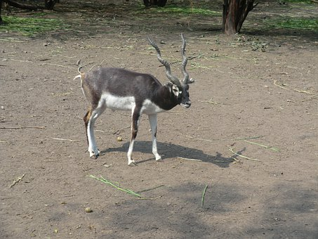 Black Buck, Antelope, Indian, Zoo, Animal, Safari