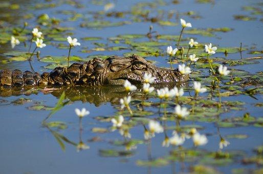 Alligator, Crocodile, Animal, Reptile, Hunter, Water