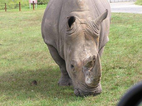 Rhino, Animal, Rhinocerous, Close Up, Safari