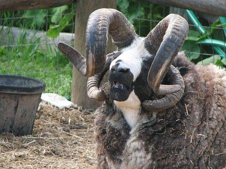 Goat, Hood River, Oregon